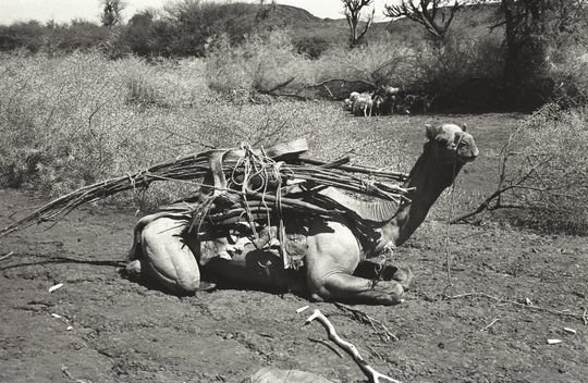Camel with a woqo stick, Afar, Ethiopia, 1975