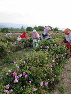 Rose pickers in Isparta, Turkey.