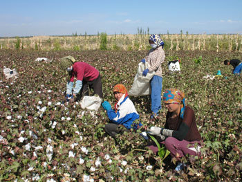 Kin provide a major source of unpaid labour in smallholder cotton picking in the oasis of Qumul (Hami) (October 2006)