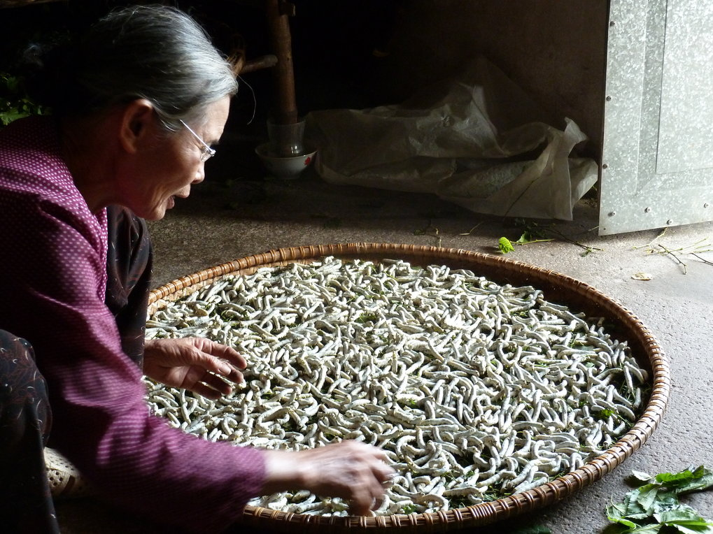 "<p>Ms Hoa, 68, is a retired labour migrant who lives with her husband in a village in the Nam Dinh Province of Vietnam. She is very affectionate with the silkworms: ""If you care for them, they will do well. It is very sweet!""<br /><br />Photo: Minh Nguyen, Nam Dinh Province, Vietnam, 2011<br />Max Planck Institute for Social Anthropology</p>"