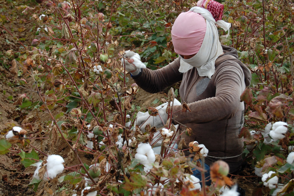 <p>Woman picking cotton in a field near the Maqtaly village. The name of the village <em>Maqtaly</em> in Kazak means 'Cottony'. This is a seasonal work and many otherwise unemployed villagers earn money by picking cotton from mid-September to the end of November.<br /><br />Photo: Indira Alibayeva, Maqtaly, Kazakhstan, 2014<br />Max Planck Institute for Social Anthropology</p>