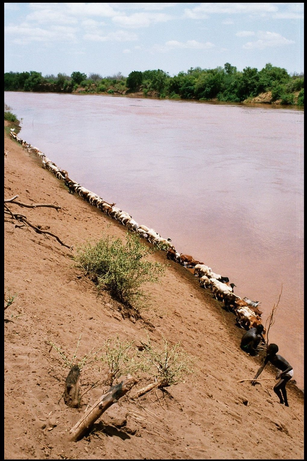 The goats line up to drink from the Omo River at Gorrente, Kara, Ethiopia, 2004